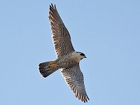 Articles On a Wing and a Prayer: five years of Derby's Peregrines