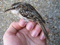 Rarity finders Short-toed Treecreeper, Suffolk
