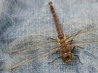 British Dragonfly Society Fine weather brings desert dragonflies to Britain