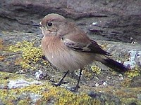 Articles Desert Wheatear: First for the Isle of Man