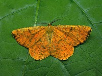 Moths in special habitats Ancient English oak woodland