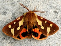 Moth News Early spring emergence and the recent migrant moth influx