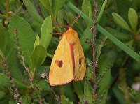 Moths in special habitats southern heathlands