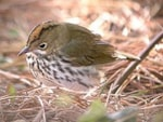 Articles Wintering Ovenbird in the Midlands!