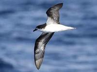 Birding abroad Madeiran Pelagic 3rd–8th August 2011