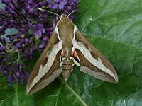 Moth News Bedstraw Hawkmoths arrive and Small Marbleds breed!