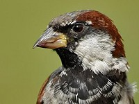 BTO Houses with gardens are good news for sparrows