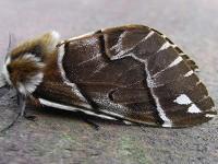 Moths in special habitats Scottish Highland woodlands