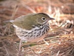 Articles Wintering Ovenbird in the Midlands - further images