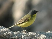 Focus On Those Tricky Flava Wagtails
