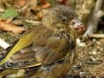BTO British garden bird disease spreads to Europe