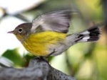 Rarity finders 30 years on – Magnolia Warbler on Isles of Scilly