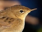 Research Grasshopper Warbler migration