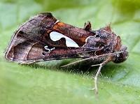 Moths in special habitats Migrant hotspots