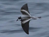 Birding abroad The Pacific