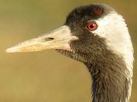 Birding abroad Hula Valley Bird Festival