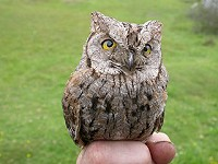 Articles Eurasian Scops Owl on Fair Isle: 30th July 2003