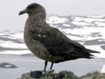 Research Non-breeding range of South Polar Skua revealed