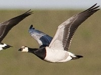 Research Migratory birds don't train for migrations