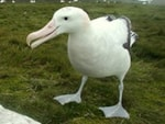 Research Climate change currently benefits albatrosses