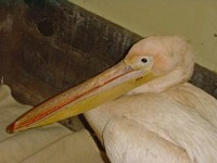 Articles White Pelican in the UK