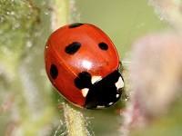 Research Invasive alien predator leading to rapid declines of European ladybirds