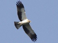 Birding abroad Batumi raptor count