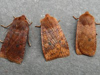 Moths of the season Challenging chestnuts