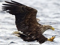 Photographing Scottish Highland specialities White-tailed Eagle
