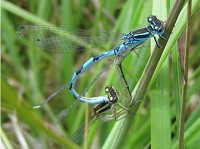 British Dragonfly Society New habitat created for damsels in distress