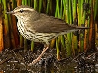 Days to Remember Northern Waterthrush on St Mary's