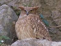Rare Western Palearctic birds Brown Fish Owl
