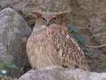 Rare Western Palearctic birds Brown Fish Owl