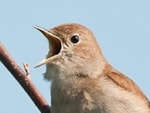 BTO Can you help locate Britain's Nightingales?