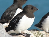 Research Arctic seabirds adapt to climate change
