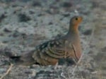 Rare Western Palearctic birds Chestnut-bellied Sandgrouse rediscovered in Egypt