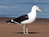 Rare Western Palearctic birds Cape Gulls in southern Morocco