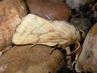 Moths in special habitats Coastal shingle