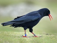 Research Irish Choughs invade Cornwall