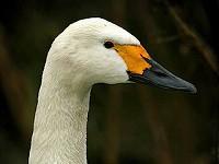 Birding abroad Swan Vista