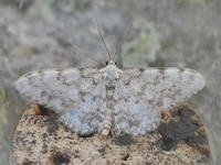 Moth News Pensychnant Moth Nights