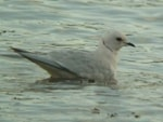 Articles Ross's Gull Delights Observers in the Southwest