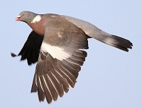 BTO Woodpigeons hit record high in gardens