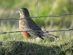 Rarity finders American Robin on Bardsey Island