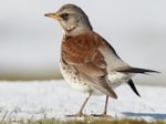 BTO Winter thrush survey