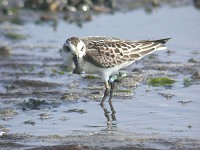 Birding abroad Spoon-billed Sandpiper surprise