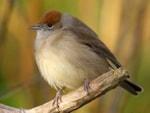 BTO Wanted: sightings of bolshy garden bird