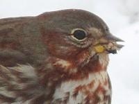 Rare Western Palearctic birds The Fox Sparrow in Estonia