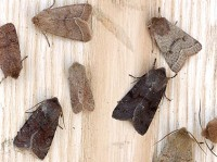 Moths of the season Spring Quakers and Drabs, Part I