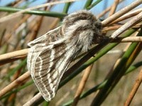 Moth News Belted Beauties under threat